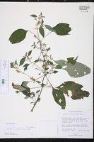 Hygrophila corymbosa image