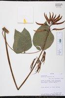 Image of Erythrina leptorhiza