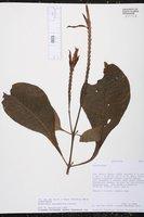 Image of Aphelandra macrophylla