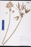 Cyperus articulatus image