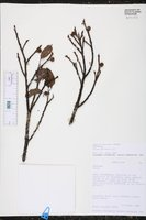 Ficus pertusa image