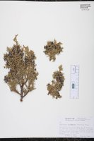 Juniperus monosperma image