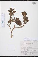 Image of Solanum montanum