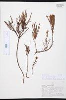 Hypericum andinum image