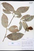 Image of Rheedia acuminata