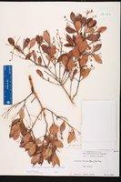 Myrcianthes fragrans image