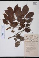 Lonchocarpus domingensis image