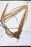Eleocharis acutangula subsp. acutangula image