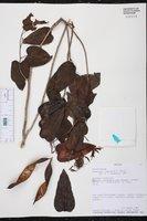 Bauhinia jenningsii image