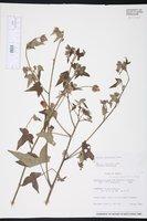 Image of Pavonia setifer
