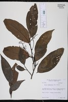 Image of Ocotea membranacea