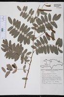 Image of Barbieria pinnata
