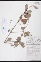 Image of Gesneria heteroclada