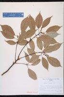 Quercus glauca image