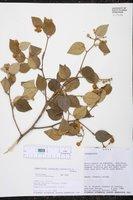 Capparicordis crotonoides image