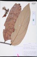 Image of Theobroma speciosum