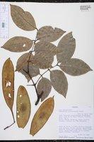 Image of Cedrelinga cateniformis