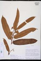 Virola surinamensis image