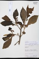 Aegiphila integrifolia image