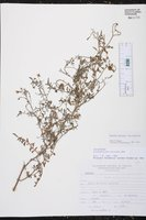 Solanum chilense image