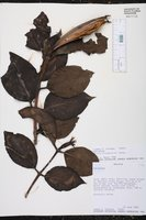 Image of Hillia illustris