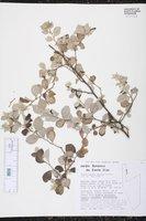 Image of Reichenbachia hirsuta