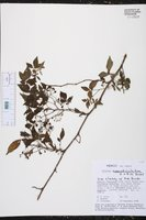 Solanum appendiculatum image