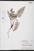 Asplenium aethiopicum image