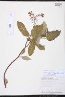 Jatropha integerrima image