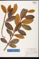 Solanum woodburyi image