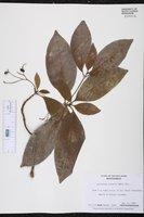 Image of Antirhea coriacea