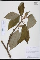 Image of Henriettea triflora