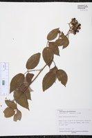 Rubus adenotrichos image