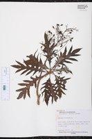 Bocconia frutescens image