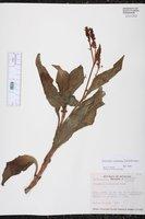 Image of Persicaria acuminata