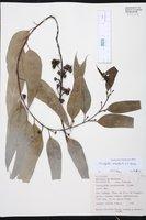 Eucalyptus urophylla image