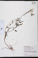 Phyllanthus compressus image