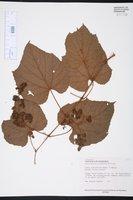 Vitis tiliifolia image