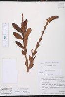 Sinningia allagophylla image