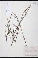 Stachytarpheta angustifolia image