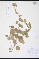 Image of Malvastrum scoparioides