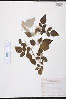 Rubus albescens image