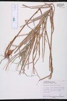 Rhynchospora corymbosa image