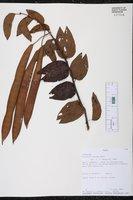 Image of Bauhinia acreana