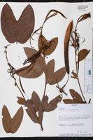 Image of Bauhinia conwayi