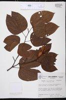 Bauhinia picta image