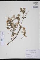 Image of Croton sidifolius