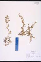 Alternanthera paronichyoides image