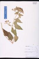 Chromolaena odorata image