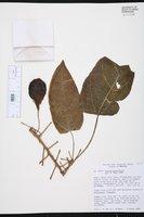 Carica quercifolia image